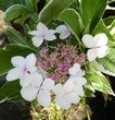 Hydrangea macrophylla Light-o-day = 'Bailday' (L/v)